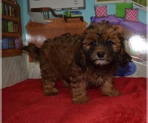 Shih-Poo Dog for Adoption in BARNESVILLE, Kansas USA
