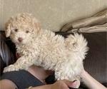 Puppy 4 Lhasa Apso-Poodle (Standard) Mix