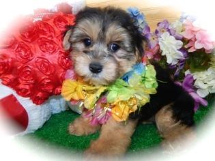 Morkie Puppy For Sale in HAMMOND, IN