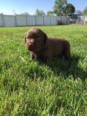 Labrador Retriever Puppy For Sale in NORTH MANCHESTER, IN
