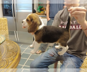 Beagle Puppy for sale in MCMINNVILLE, OR, USA