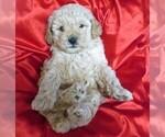 Small #13 Poodle (Miniature)