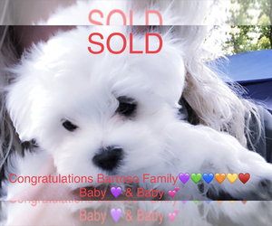 Maltese Puppy for Sale in FREMONT, Michigan USA