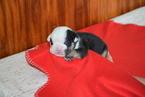 English Bulldog Puppy For Sale in FREDERICKSBURG, OH, USA