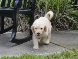 Goldendoodle Puppy For Sale in LIVE OAK, FL, USA