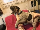 German Shorthaired Pointer Puppy For Sale in TAYLORVILLE, Illinois,