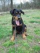 Greater Swiss Rottweiler Puppy For Sale in NIANGUA, MO