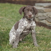 German Shorthaired Pointer Puppy For Sale in GAP, Pennsylvania,