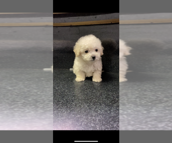 Medium Photo #5 Maltipoo Puppy For Sale in BALDWIN, NY, USA