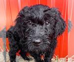 Puppy 5 Goldendoodle-Irish Doodle Mix