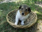 Scotch Collie Puppy For Sale in CARBONDALE, IL, USA