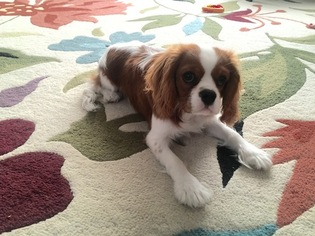 Cavalier King Charles Spaniel Puppy for sale in COLORADO SPRINGS, CO, USA
