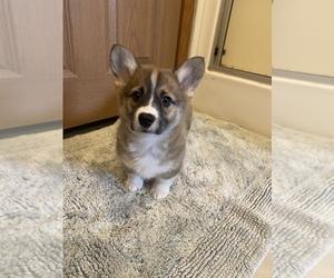 Pembroke Welsh Corgi Puppy for Sale in FINLAYSON, Minnesota USA