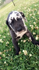 Great Dane Puppy For Sale in DENHAM SPRINGS, LA