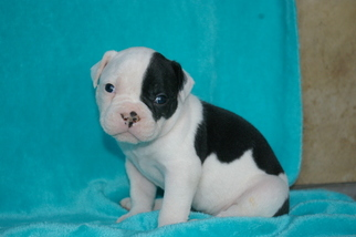Olde English Bulldogge Puppy For Sale in CABOOL, MO, USA