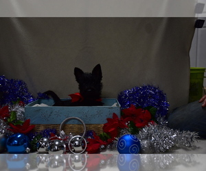 Scottish Terrier Dog for Adoption in ROSEVILLE, Illinois USA