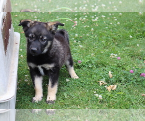 Norwegian Elkhound Puppy for sale in SHILOH, OH, USA