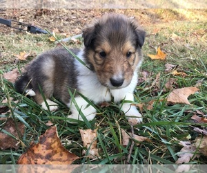 Collie Puppy for sale in KINGSPORT, TN, USA
