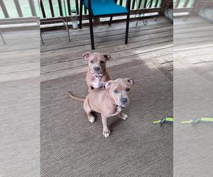 American Bully Puppy for sale in FREDERICKSBURG, VA, USA