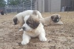 Anatolian Shepherd Puppy For Sale in CAMPBELL, TX, USA