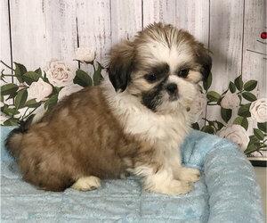 Shih Tzu Dog for Adoption in PENNS CREEK, Pennsylvania USA