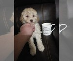 Puppy 6 Goldendoodle-Poodle (Miniature) Mix