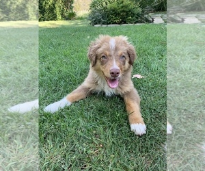 Australian Shepherd Puppy for sale in MALIBU, CA, USA