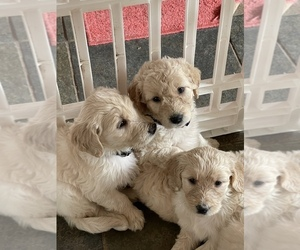 Goldendoodle Puppy for Sale in RENO, Nevada USA
