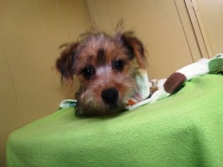 Poodle (Standard)-Yorkshire Terrier Mix Puppy for sale in PATERSON, NJ, USA