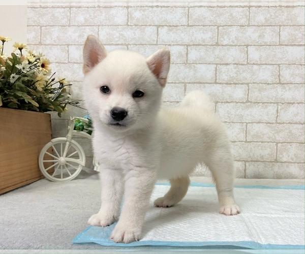 Medium Photo #9 Shiba Inu Puppy For Sale in BEVERLY HILLS, CA, USA