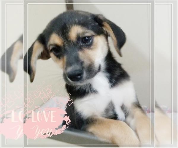 View Ad: Beagle-Pomsky Mix Puppy for Sale near Denmark