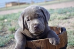 Labrador Retriever Puppy For Sale in FOUNTAIN, CO,