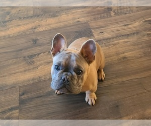 French Bulldog Puppy for sale in NEW HANOVER COUNTY AIRPORT, NC, USA