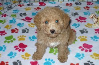 Poodle (Toy)-Schnauzer (Miniature) Mix Puppy for sale in TUCSON, AZ, USA