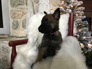 Belgian Malinois Puppy For Sale in STUART, FL, USA