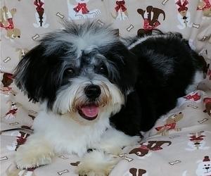 Havamalt Puppy for sale in WINSTON SALEM, NC, USA