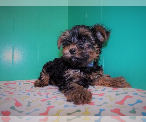 Medium Photo #8 Yorkshire Terrier Puppy For Sale in PATERSON, NJ, USA