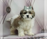 Puppy 5 ShihPoo