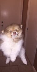 Pomeranian Puppy For Sale in HOLLYWOOD, FL