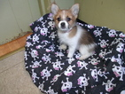 Yoranian Puppy For Sale in PATERSON, NJ, USA