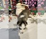 Small #18 Siberian Husky