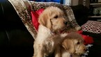 Labradoodle Puppy For Sale in BARRINGTON, IL, USA
