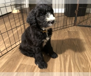 Sheepadoodle Puppy for Sale in WYOMING, Illinois USA
