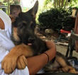 German Shepherd Dog Puppy For Sale in CARTERSVILLE, GA,