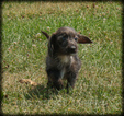 Doodle Puppy For Sale in WAYLAND, IA, USA