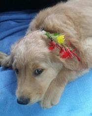 Golden Retriever Puppy For Sale in DANDRIDGE, TN, USA