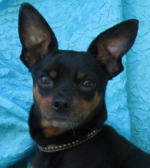 Miniature Pinscher Dog For Adoption in Cuba, NY