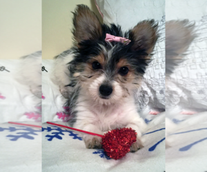 Yorkshire Terrier Puppy for Sale in FREDERICK, Maryland USA