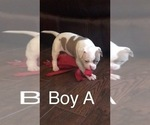 Small #13 American Bulldog