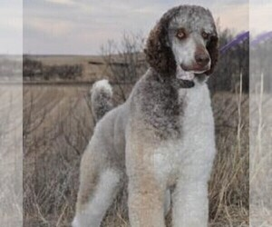 Father of the Bernedoodle-Poodle (Standard) Mix puppies born on 10/27/2020